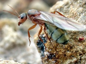 carpenter ant wiki